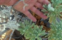 Argusia gnaphloides