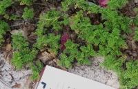 Ambrosia-hispida