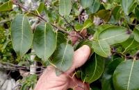 Banara caymanensis