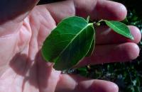 Banara caymanensis2