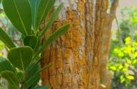 Buxus bahamense
