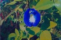 21.Bluebell