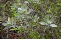 33.Conocarpus