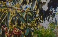 Cordia gerascanthus