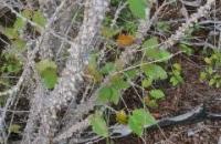 Caesalpinia bahamensis 2