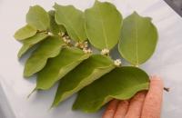 01.Dalbergia ecastaphyllum