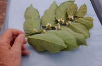 02.Dalbergia ecastaphyllum