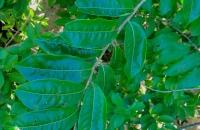 06.Drypetes lateriflora