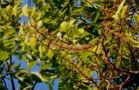 08.Drypetes lateriflora