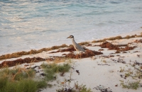 004-Yellow-crowned Night Heron on patrol