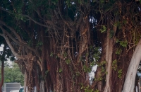 1.Ficus aureum