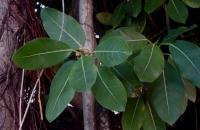 2.Ficus aurea