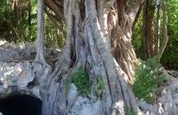 3.Ficus citrifolia