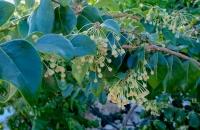 Phyllanthus nutans