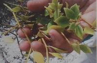 Peperomia psuedopereskiifolia
