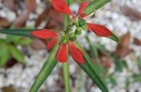 Poinsettia cyathophora