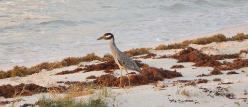 Yellow-crowned Night Heron on patrol